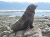 Kaikoura - Seal Colony